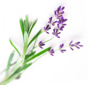Sprigs-of-lavender-isolated-500
